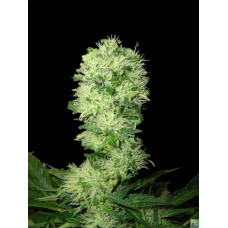 Widow Bud